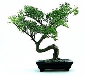 bonsai-316573_960_720